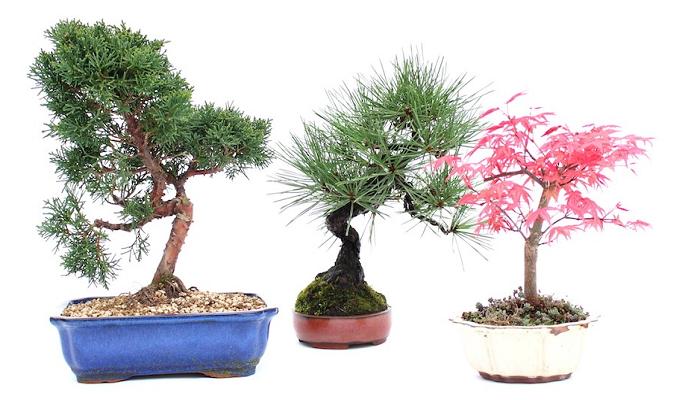 árboles de bonsái