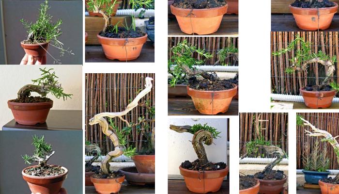 alambrado y pinzado en el bonsai romero