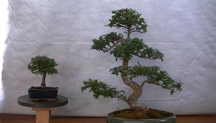 bonsái olmo chino