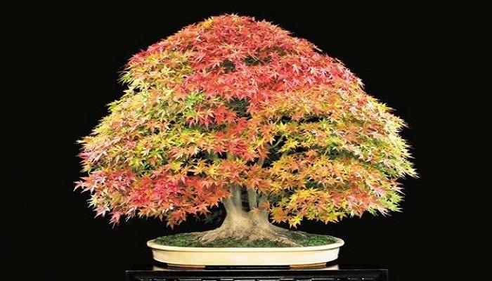 bonsai arce buergerianum