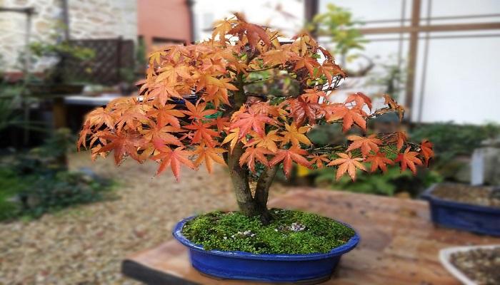 bonsai arce palmatum
