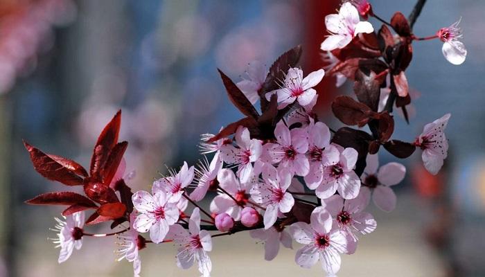 bonsai cerezo flor