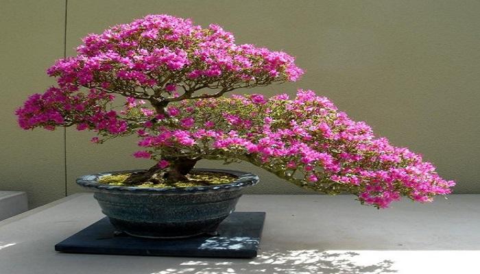 bonsai cerezo floracion