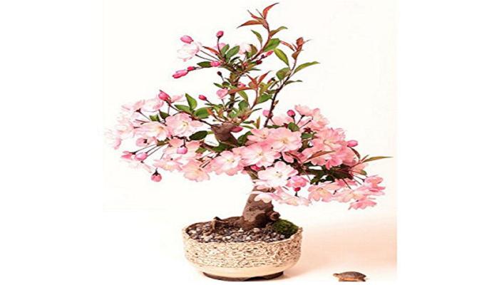 bonsai cerezo japones zakura