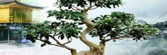 Bonsái Ficus