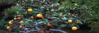 Bonsái naranjo