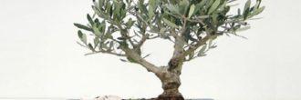 Bonsái olivo