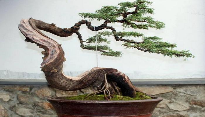 como alambrar un bonsai pino