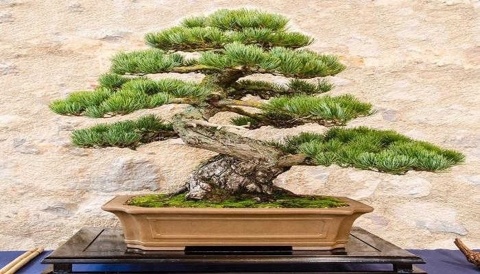 bonsai pino blanco japones