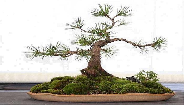 bonsai pino mugo