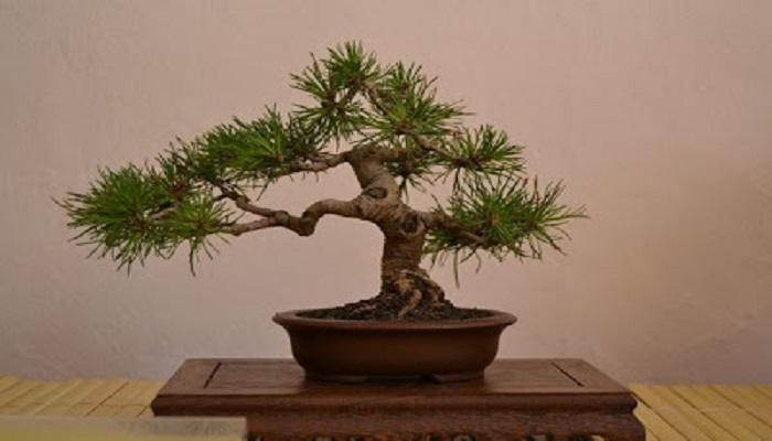 bonsai pino negro japones
