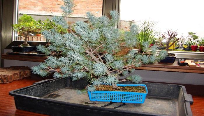 bonsai pino piñonero