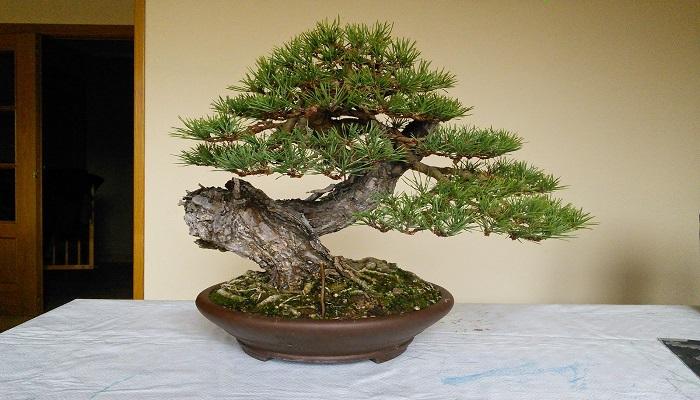 bonsai pino silvestre