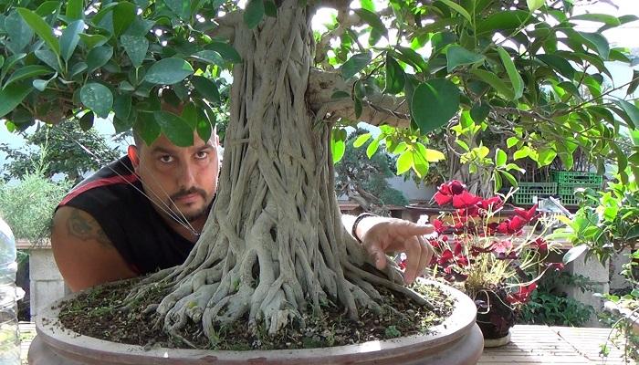 Bonsái Ficus Todo Sobre Los Bonsai