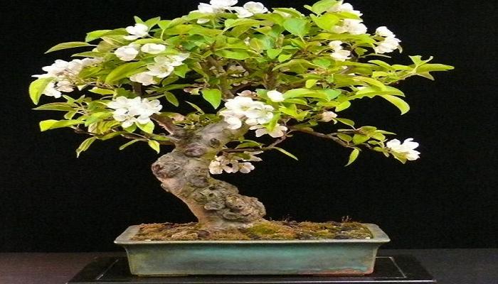 caracteristicas del bonsai manzano