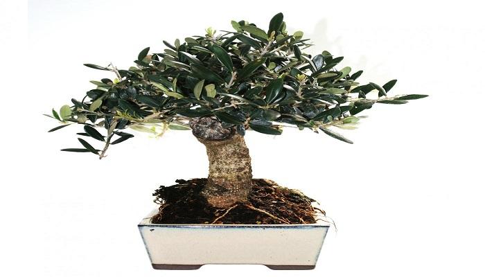 como cuidar un bonsai olivo
