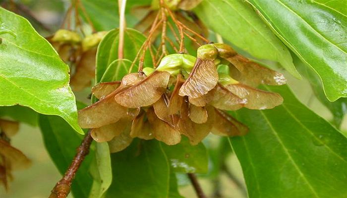 como germinar semillas para bonsai arce
