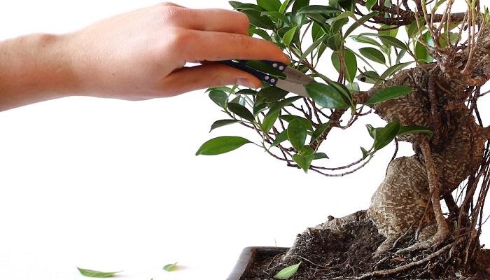 como hacer un bonsai olivo por esquejes