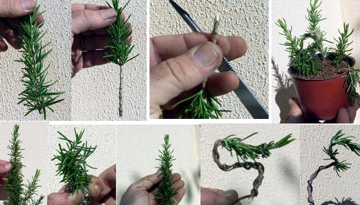 como hacer un bonsai romero por esqueje