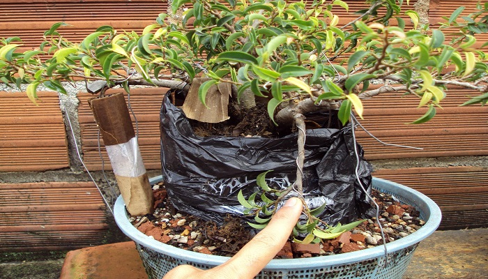 como multiplicar bonsai ficus