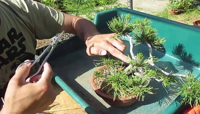 como pinzar el bonsai pino