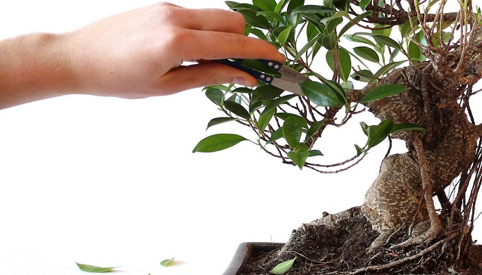 como podar un bonsai ficus