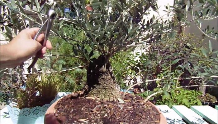 como podar un bonsai olivo