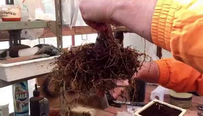 como-trasplantar un bonsai olivo