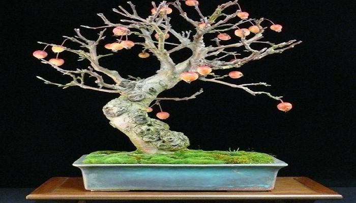 cuando abonar el bonsai manzano