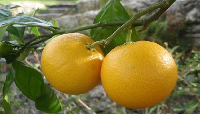 cuando da fruto el bonsai naranjo