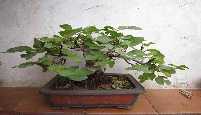 cuidados del bonsai higuera