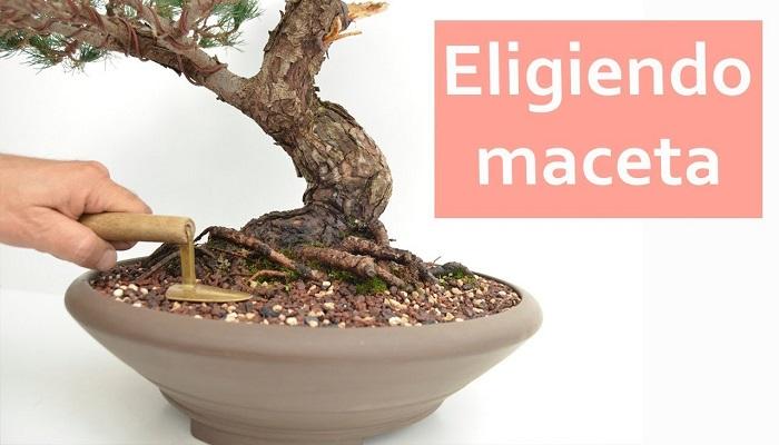 cuidados del bonsai olivo