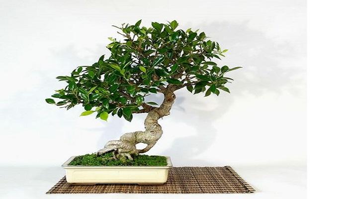 donde comprar bonsai ficus
