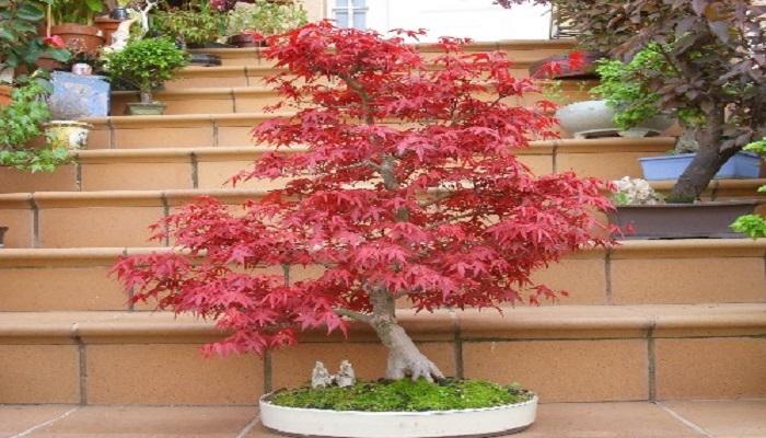 el bonsai arce japones