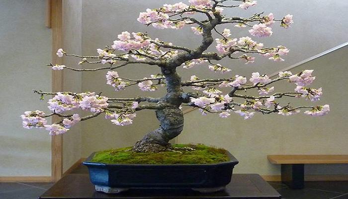 el bonsai cerezo