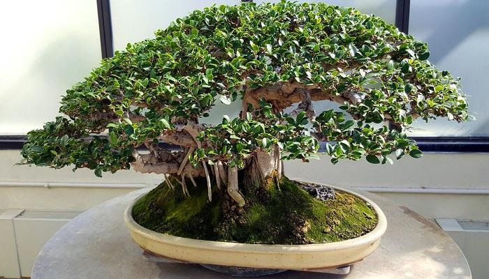 el bonsai ficus