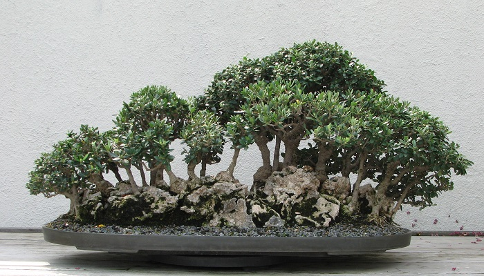 el bonsai olivo