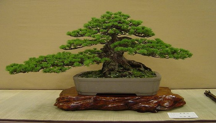 el bonsai pino