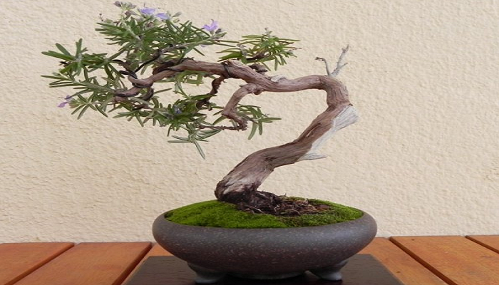 el bonsai romero