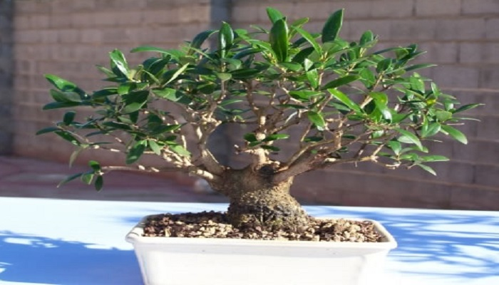 el olivo bonsai