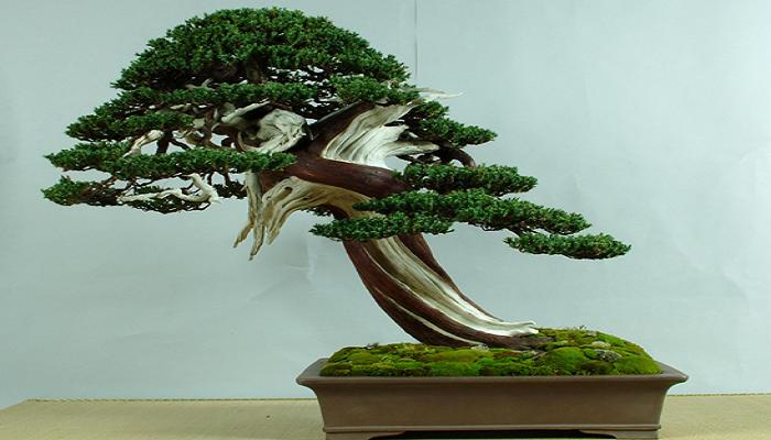 el tanuki bonsai