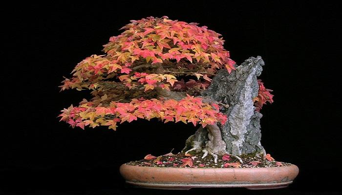 estilos de bonsai arce