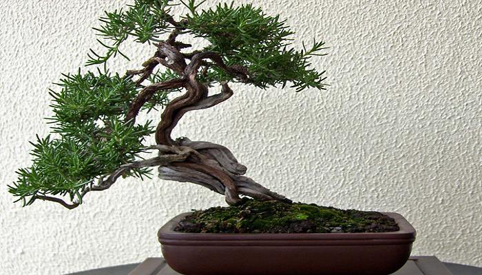 mantenimiento del bonsai romero