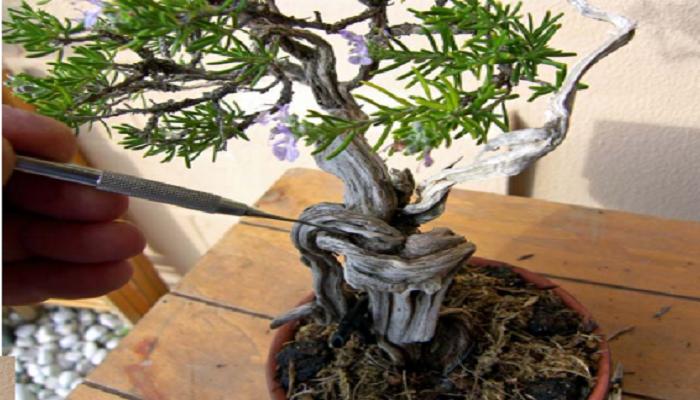 mantenimiento vegetativo del bonsai romero
