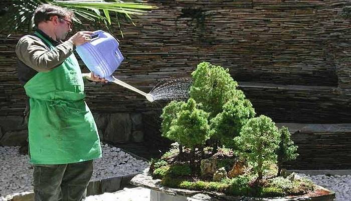 como regar un bonsai pino