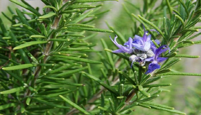 semillas para bonsai romero