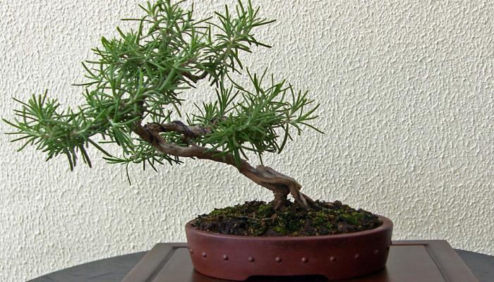 tecnicas del bonsai romero