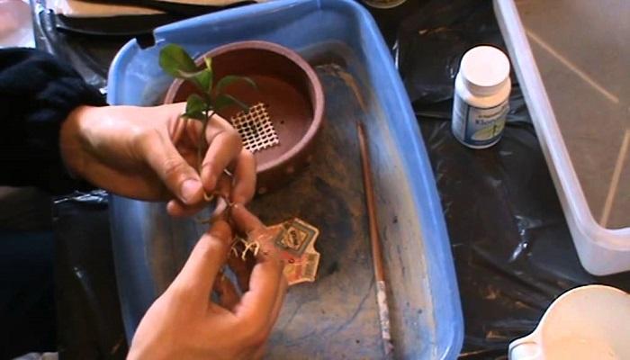 trasplante plantulas en bonsai naranjo
