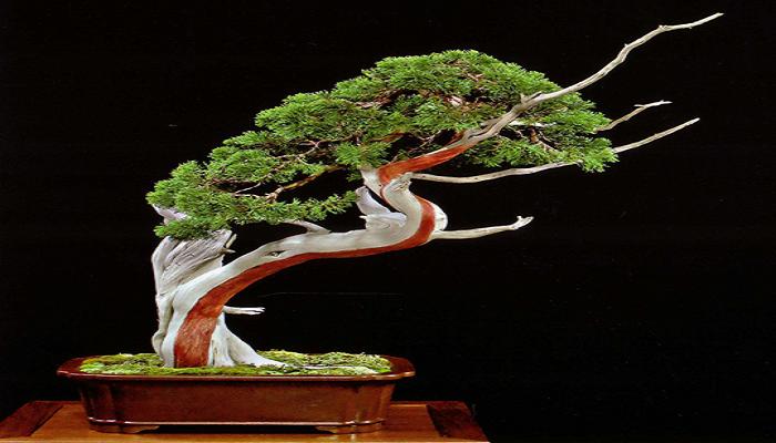 ventajas del tanuki bonsai