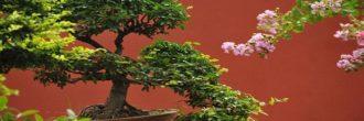 Acebuche bonsái